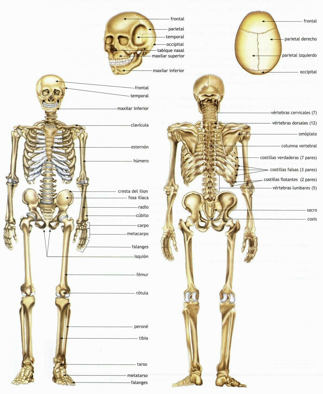 Cuantos huesos tiene el cuerpo humano - Ara blog