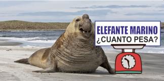 elefante marino peso