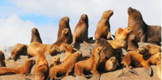 reproduccion del lobo marino