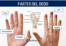 partes del dedo