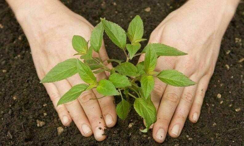 sembrar semillas de duraznos