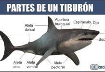 Partes de un tiburon