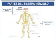 sistema nervioso y sus partes