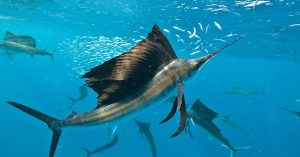 cual es el pez mas rapido del mundo