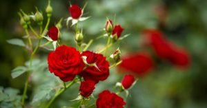 Significado de las rosas rojas