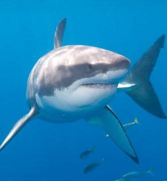 el tiburon blanco