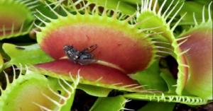 como se alimentan las plantas carnivoras