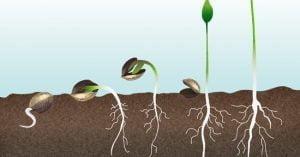 en que consiste la germinacion