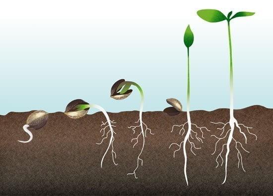 En que consiste la germinacion - Ara blog