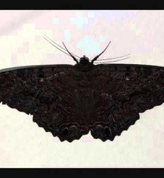 que significan las mariposas negras