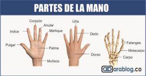 cuales son las partes de la mano