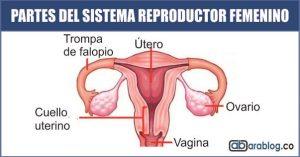 Partes del sistema reproductor femenino