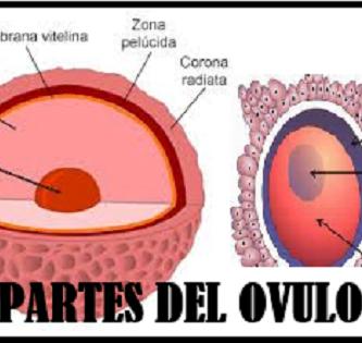 Partes del ovulo