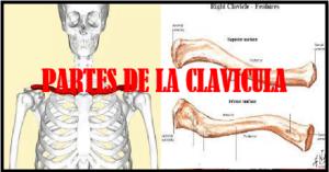 Que es la clavícula y cuales son sus partes