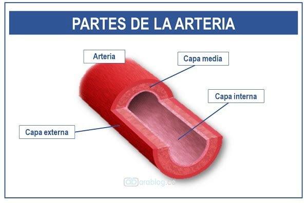 partes de una arteria