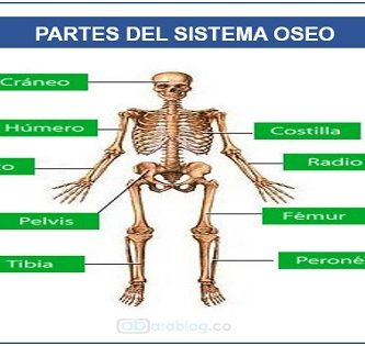 Estructura del sistema óseo - Huesos