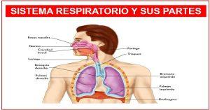 Cómo está formado el sistema respiratorio