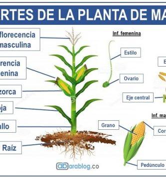 planta de maiz y sus partes