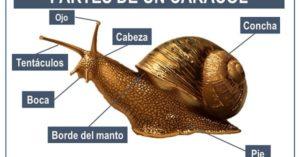 cuales son las partes de un caracol