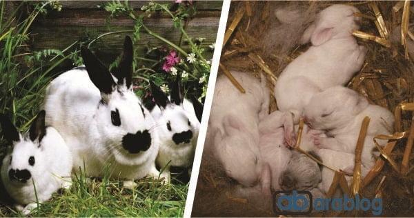 Reproducción del conejo